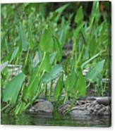 Hiding In The Weeds Canvas Print