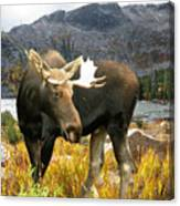 High Country Moose Canvas Print