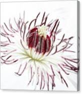 High Key Clematis Canvas Print