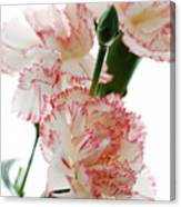 High Key Pink And White Carnation Floral  Canvas Print