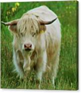 Highland White  Canvas Print