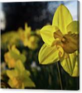 Highway Daffodil Canvas Print