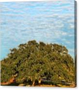 Hill Country Tree  Canvas Print