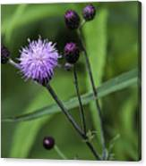 Hill's Thistle Flower And Buds Canvas Print
