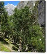 Himalayan Bhojpatra Trees 4 Canvas Print