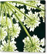 Himalayan Hogweed Cowparsnip Canvas Print