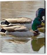 Two Mallards Swimming Quietly Canvas Print
