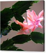 Holiday Cactus - On Wings Canvas Print