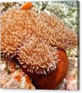 Home Of The Clown Fish 2 Canvas Print