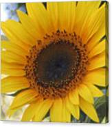 Homegrown Sunflower Canvas Print