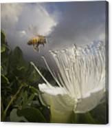 Honey Bee Apis Mellifera Approaching Canvas Print