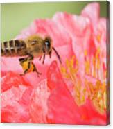 Honey Bee In Flight Canvas Print