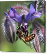 Honey Bee On Borage Canvas Print