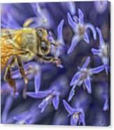 Honey Bee On Globe Allium Canvas Print