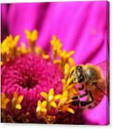 Honey Bee Pollinating Zinnia Canvas Print
