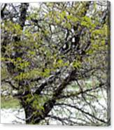 Honey Locust Tree On A Spring Snow Day Canvas Print