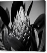 Honey Pot King Sugar Bush Protea Canvas Print