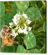 Honeybee Drinking From Clover Bloom   Summer  Indiana Canvas Print