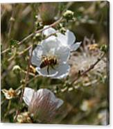 Honeybee Gathering From A White Flower Canvas Print