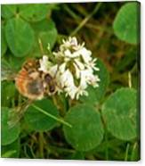 Honeybee On Clover Looking At Camera Canvas Print