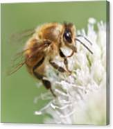 Honeybee on Rattlesnake Master Canvas Print