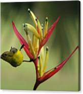 Honeyeater On Bird Of Paradise Canvas Print