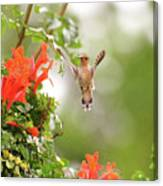 Honeysuckle Hummer Canvas Print