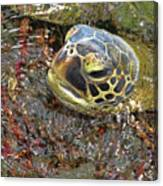 Honu In The Water Canvas Print