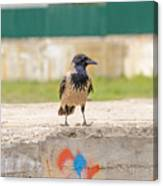 Hooded Crow On A Wall Canvas Print