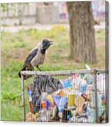 Hooded Crow With Garbage Canvas Print