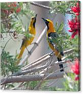Hooded Oriole Duo Canvas Print