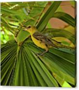 Hooded Oriole H01 Canvas Print
