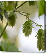 Hops For Pickin' Canvas Print
