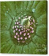 Hops Leaf, Sem Canvas Print