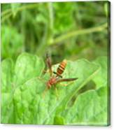 Hornet On Watermelon Canvas Print