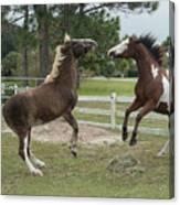 Horse Aerobics Canvas Print