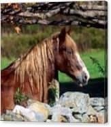 Horse At Stone Wall Canvas Print
