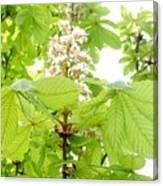 Horse Chestnuts Canvas Print