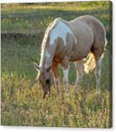 Horse Feeding In Grass Farm With Sunset Light From The Left Canvas Print