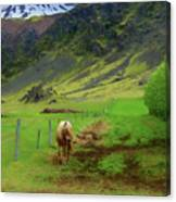 Horse On The South Iceland Coast Canvas Print