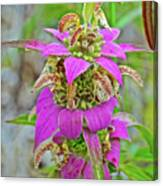 Horsemint On Trail To North Beach Park In Ottawa County, Michigan Canvas Print