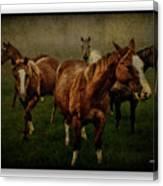 Horses 31 Canvas Print