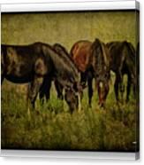 Horses 37 Canvas Print