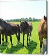 Horses In Bridgehampton Canvas Print
