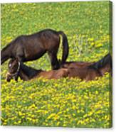 Horses In Daisy Field Canvas Print