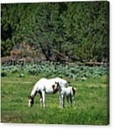 Horses In Meadow - California Canvas Print