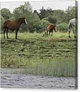 Horses On Ireland's River Shannon Canvas Print