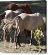 Horses Paradise Valley Canvas Print