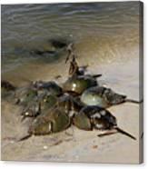 Horseshoe Crabs Canvas Print
