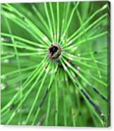 Horsetail Reed 1 Canvas Print